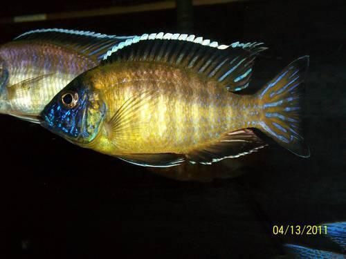 African Cichlids Peacocks Fish