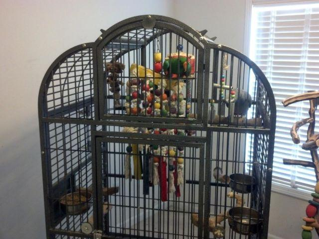African Grey Amp Eclectus Parrot With Cage For Sale In Troy