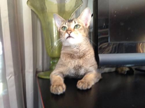 African Jungle Cat hybrid/Chausie F1 female for Sale in North