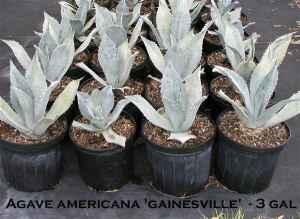 Agave Plants, Starting at - $5 (Gainesville, Florida)