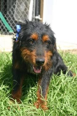 Airedale Terrier - Lucas - Large - Young - Male - Dog