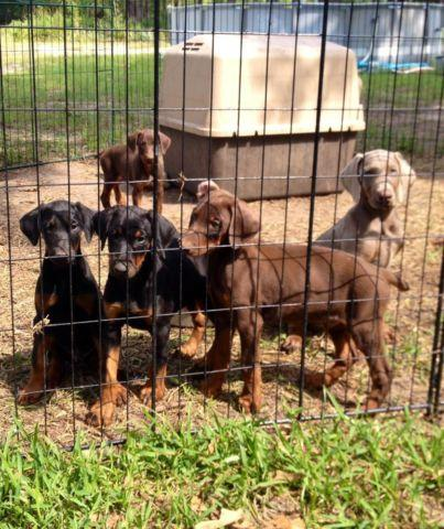 AKC 1/2 Euro Doberman Pups (Red &Blk)