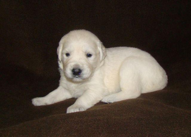 Akc 100 English Cream Golden Retriever Puppies Guarantee Champion