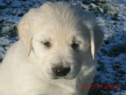 Akc 100 English Cream Golden Retriever Puppies Ready Christmas
