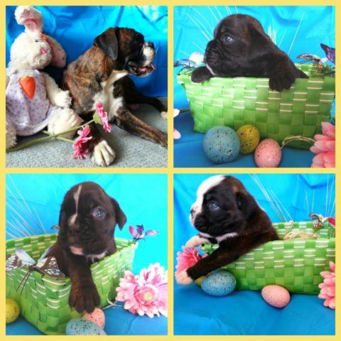 boxer puppies for sale in California Classifieds & Buy and Sell in California page 7 - Americanlisted