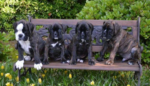 AKC 100% European Boxer Puppy