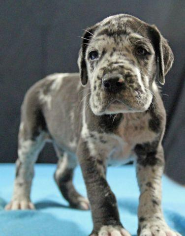 AKC 100% European Harlequin, Black & Merle Great Dane ...
