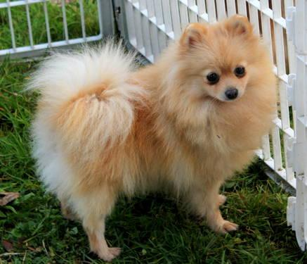 girl pomeranian akc 2 5 year old spayed female pomeranian for sale in roy 2630