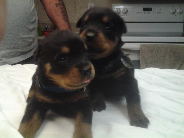 Akc 6 Week Old Rottweiler Puppies For Sale In Homosassa Florida