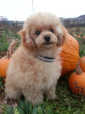 AKC Adorable Apricot Male Toy Poodle Puppy