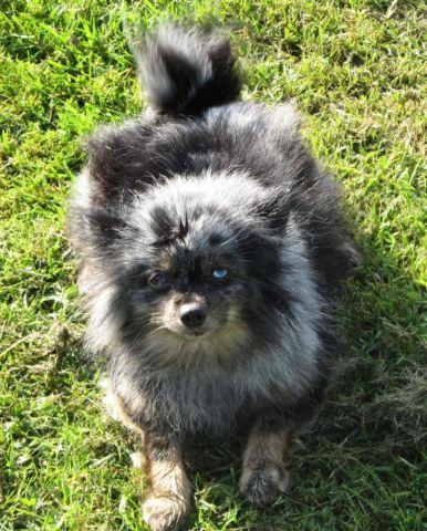 merle pomeranian for sale akc adult 5 years female pomeranian blue merle dog for 2528