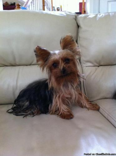 AKC ADULT FEMALE YORKIES for Sale in Austin, Texas Classified ...: austin-tx.americanlisted.com/78754/pets-animals/akc-adult-female...