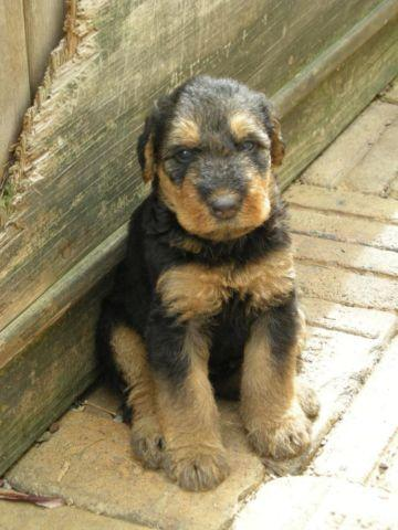 AKC Airedale Terrier Puppies for sale for Sale in Portage, Pennsylvania Classified