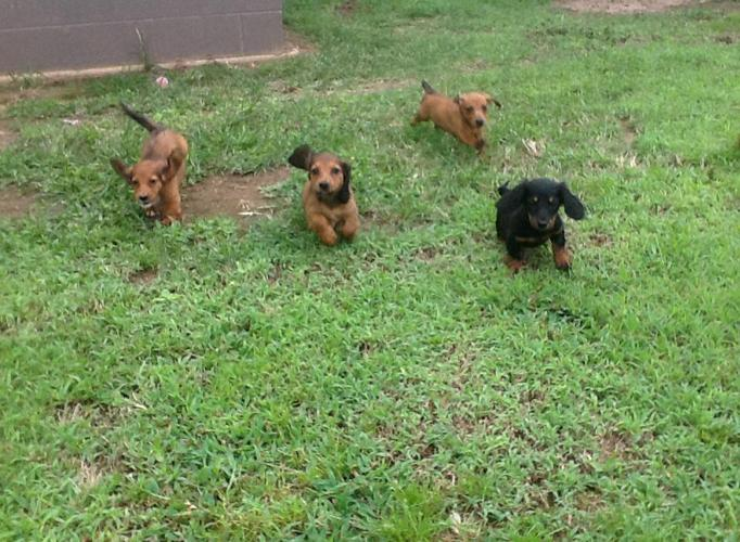 Akc And Ckc Dachshund Puppies For Sale In Red Bay Alabama