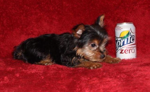 AKC and CKC Yorkshire Terrier Female 14 weeks old for Sale