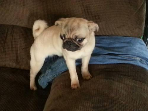 Akc Apricot Female Pug Puppy 5 Months Old For Sale In Newark Ohio