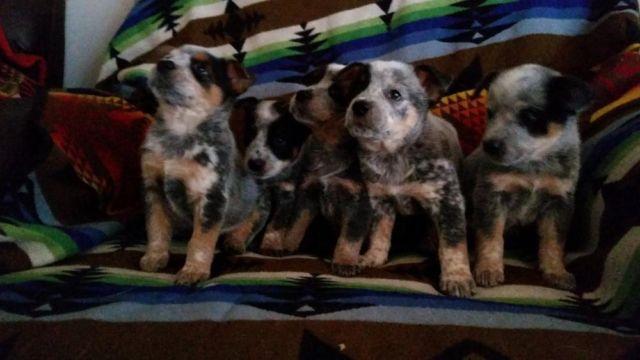 Akc Australian Cattle Dog Puppies