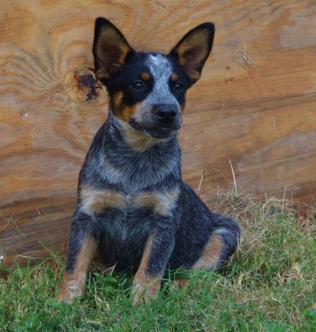 Australian Cattle Dog Puppies For Sale In Tx
