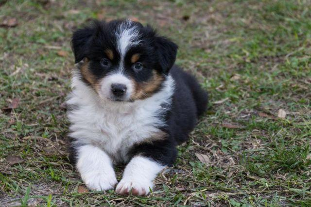 AKC Australian Shepherd Puppies Black-tri M & F