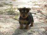 AKC Australian Terriers