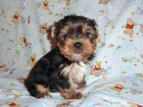 AKC Baby Doll face male Yorkie puppy