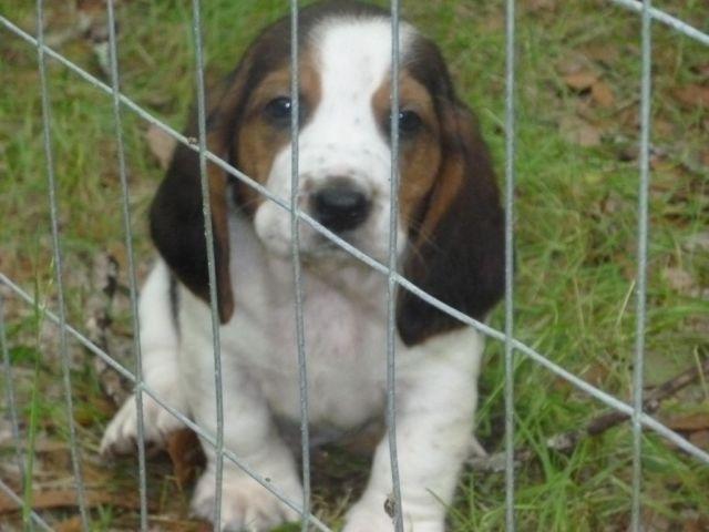 Akc Basset Hound Puppies For Sale In Crawfordville Florida