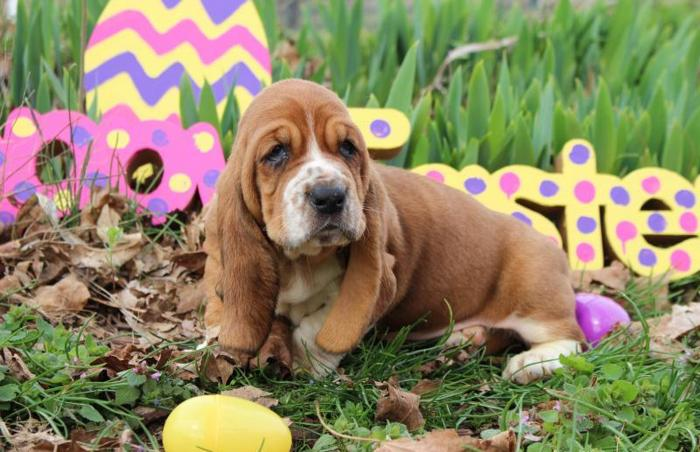 Akc Basset Hound Puppies For Sale In Cave City Kentucky Classified