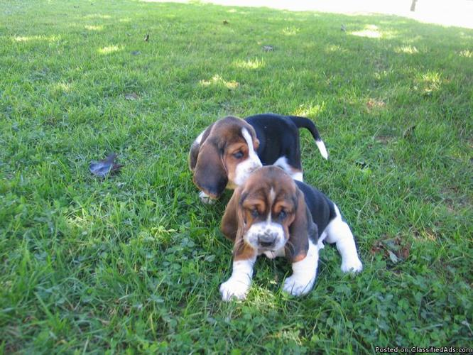 Akc Basset Hound Puppies For Sale For Sale In Bellville Ohio