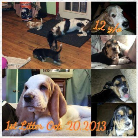AKC Basset Hound Puppies soon