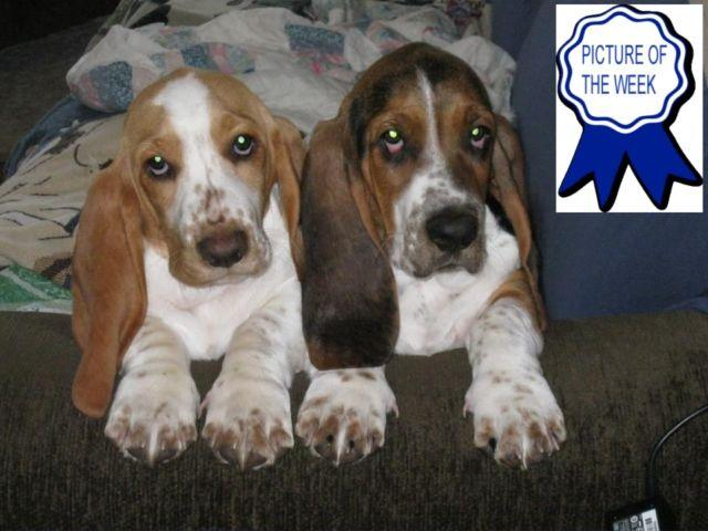 Akc Basset Hound Pups Prepared In Feb For Sale In Saginaw Michigan