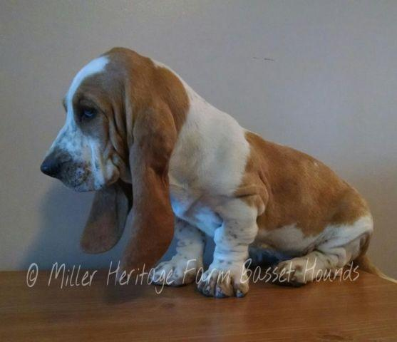 Akc Basset Hound Redwhite Male For Sale In Cherokee North