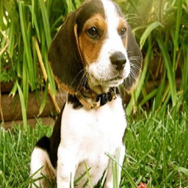 Akc beable puppies for sale in brooklyn michigan classified