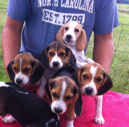 Akc Beagle Puppies 10 Wks Old For Sale In Sumterville Florida