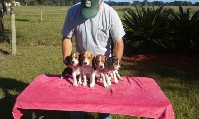 AKC Beagle Puppies 12 Weeks Old