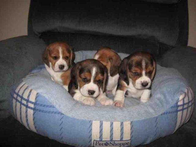 Akc Beagle Puppies For Sale In Center Ave California Classified