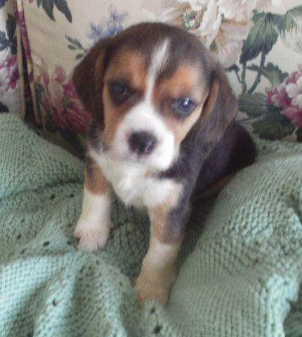 AKC BEAGLE PUPPY-RILEY