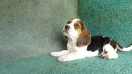 Akc Beagle Pups For Sale In Lithia Florida Classified