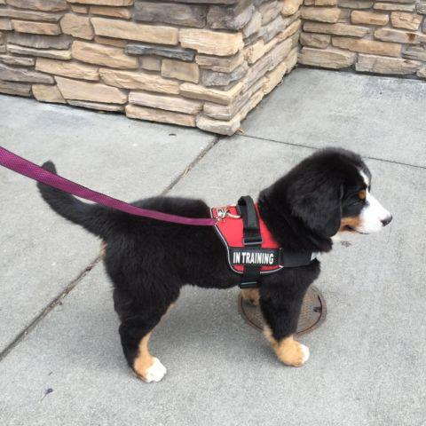 Bernese Mountain Dog Puppies Oregon
