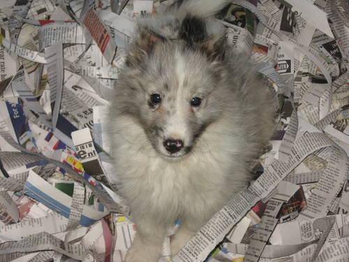AKC Beautiful Bi-Blue Shetland Sheepdog (Sheltie) Puppy
