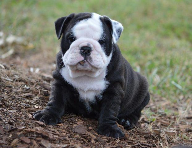 English Bulldog For Sale In Georgia Classifieds Buy And Sell In