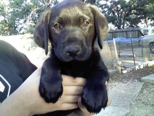 AKC Beautiful Female Black Lab puppies (reduced) for Sale ...