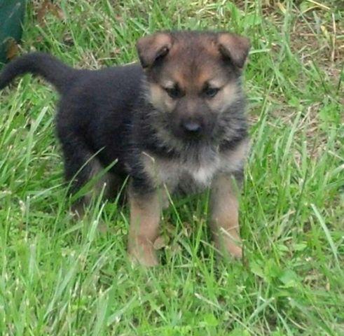 Rottweiler Puppies For Sale In Virginia Beach Virginia Classifieds