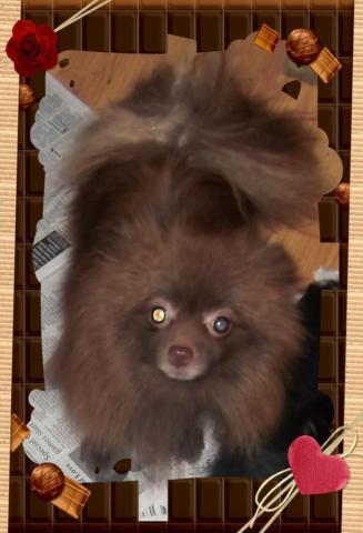 AKC Beautiful spayed Chocolate female Pomeranian!!
