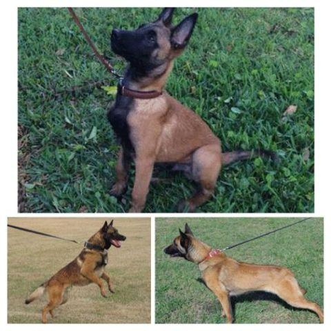Belgian Malinois For Sale Florida Petfinder