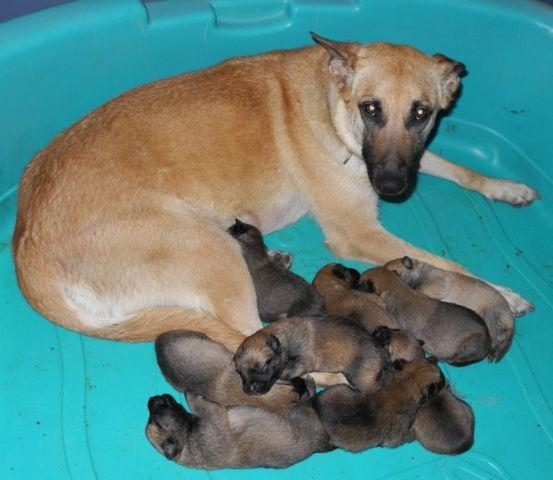 AKC Belgian Malinois Puppies (Sport Lines) Accepting