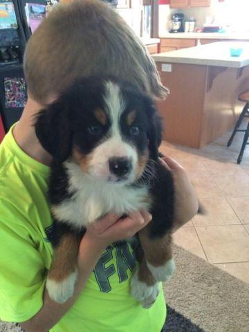 Akc Bernese Mountain Dog For Sale In Saint Helens Oregon