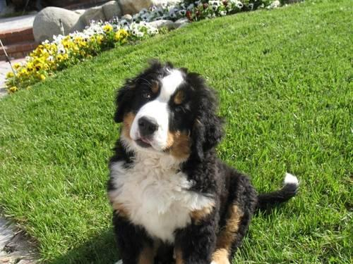 Akc Bernese Mountain Dog Puppies For Sale In Riverside