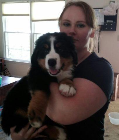 Akc Bernese Mountain Dog Puppies Ready Now For Sale In