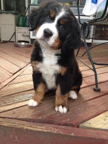 Akc Bernese Mountain Dog Puppy For Sale In Elgin Illinois
