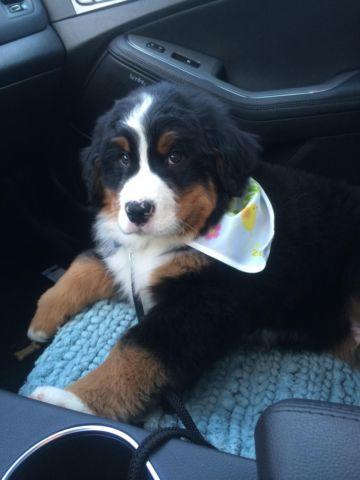 AKC Bernese Mountain Dogs